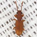 Silvanid Flat Bark Beetle - Silvanoprus scuticollis