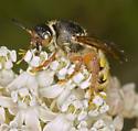 Crioscolia nectaring in milkweed 'hoods' - Crioscolia alcione - female
