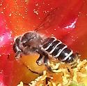 Bee - Lithurgopsis apicalis
