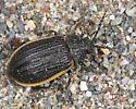 dunes beetle - Galeruca rudis