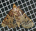 Insect - Pyralis manihotalis