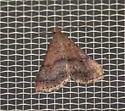 Owlet moth - Bleptina caradrinalis