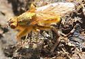 golden fly - Scathophaga stercoraria - male