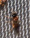 2018-09-07 Small black-headed wasp