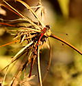 Blue-faced meadowhawk - Sympetrum ambiguum - male - female