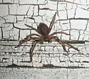 Spider # 3 - Olios