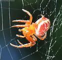 Spider - Araniella displicata - female