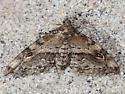 Gold-lined Melanomma Moth - Hodges#8412 - Melanomma auricinctaria