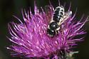 Unarmed Leaf-cutter Bee - Megachile inermis - female