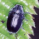 Odd Gray Beetle Dorsal View - Coleothorpa dominicana