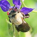 Bee - Centris caesalpiniae - female