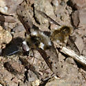 Mating Bee flies from southern Diablo Range, CA - Bombylius albicapillus - male - female