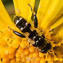 New Fly at the Yellow Blossoms - Syritta pipiens