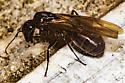 almost drowned - Camponotus pennsylvanicus