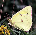 Another oldie: image from 1989 - Colias philodice