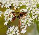 Colorful Ichneumon wasp? - Spilopteron vicinum - female