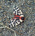 Moth? - Arctia opulenta
