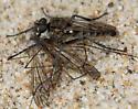 Lasiopogon sp. - Lasiopogon undescribed - male