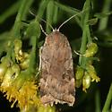 Quaker Moth? - Cryptocala acadiensis