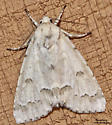 Unmarked Dagger - Hodges#9207 (Acronicta innotata) - Acronicta innotata