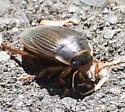 Water Beetle? - Dytiscus - female