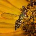 Syrphid Fly - (Toxomerus marginatus) or (Toxomerus geminates) ID Please - Toxomerus geminatus - female