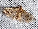 Montana Six-plume Moth -  - Alucita montana