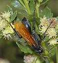 Pepsis ?? - Hemipepsis ustulata - female