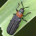 beetle - Anisostena ariadne