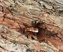 Ceuthophilus sp.? - Ceuthophilus guttulosus - female