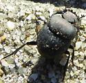 Dung Beetle - Melanocanthon