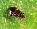 Anthocoridae