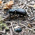 Night-stalking tiger beetle with prey - Omus dejeanii