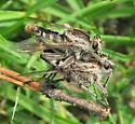 Mating Robberflies - Triorla interrupta - male - female