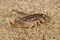 Silk-spinning Cricket - Cnemotettix bifasciatus - female