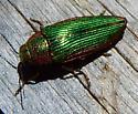 golden buprestid - Buprestis adjecta