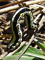 Geometrid larva - Meris alticola