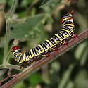 caterpillar - Didugua argentilinea