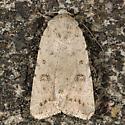 Civic Rustic - Caradrina montana