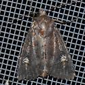 Moth - Apamea cogitata