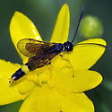 Stem Sawfly, family Cephidae