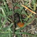 Velvet Ant?  - Dasymutilla gorgon