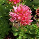 B. balteatus or frigidus? - Bombus balteatus - female