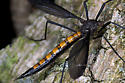 Black Crane Fly - Nephrotoma altissima - female