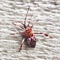 Western Conifer Seed Bug? - Leptoglossus occidentalis
