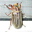 Beetle? - Polyphylla decemlineata