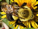 Bumble Bee Queen - Bombus impatiens - female