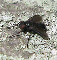 Woodlouse Fly  - Melanophora roralis