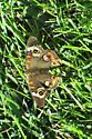 American Lady Butterfly? - Junonia coenia