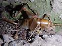 camel cricket - Ceuthophilus paucispinosus - female